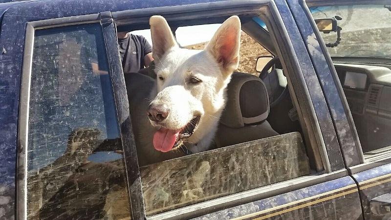 כלב בג'יפ