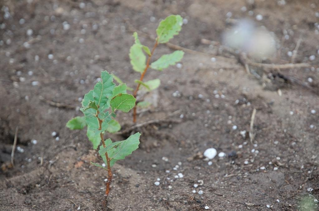 שתיל של עץ אלון צומח ביער החדש